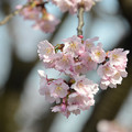 写真: 安行桜