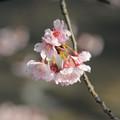 写真: 安行桜ー2.
