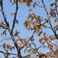 写真: ミネザクラが咲いていた