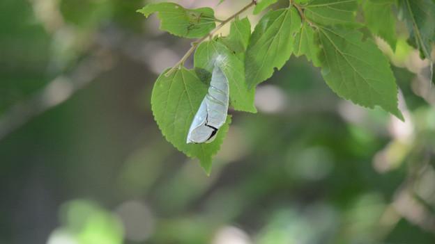 オオムラサキの羽化