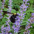 クマバチがヤブランの蜜を集めてる