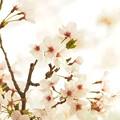写真: 朝の桜