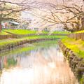 Photos: 川越の桜