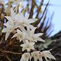 Photos: 26.5.19松島町の花「セッコク」