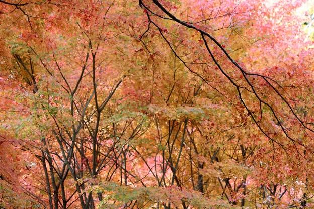 Photos: 27.11.10「幽観」扇谷の紅葉