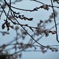 27.12.13鹽竈神社の十月桜