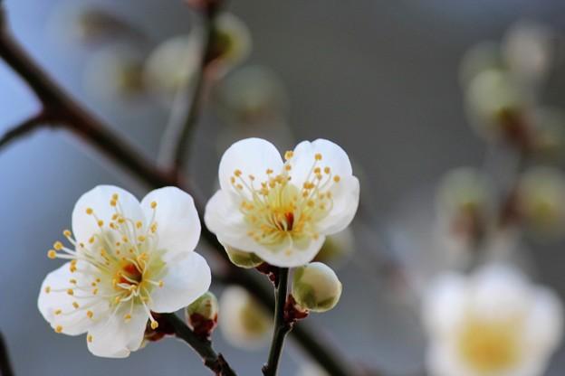 28.2.15鹽竈神社の白梅