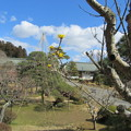28.3.21鹽竈神社の山茱萸