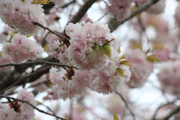 28.4.23国指定天然記念物「鹽竈神社の鹽竈ザクラ」