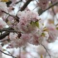 Photos: 28.4.23国指定天然記念物「鹽竈神社の鹽竈ザクラ」