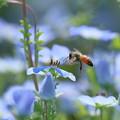 ネモフィラ蜜蜂