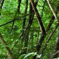 写真: アカショウビンの住む神秘の森