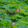 写真: ホシゴイ ゴイサギ幼鳥