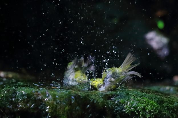 写真: メジロの水浴び