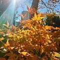 写真: 若葉台団地の紅葉