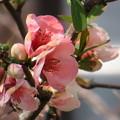 Photos: 木瓜の花が沢山開花