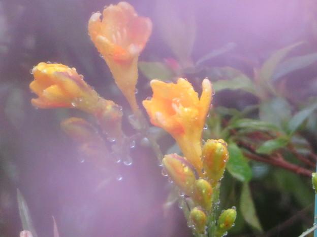 Photos: 霧雨に開花したフリージア