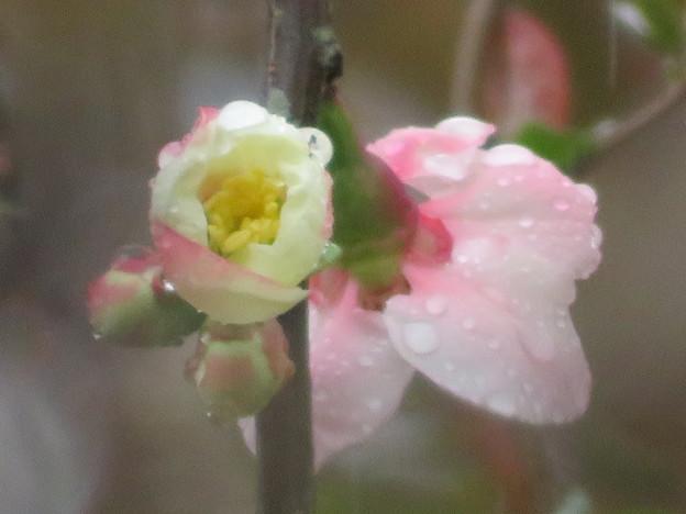 Photos: 木瓜の花雨に打たれても・・・