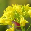 Photos: 菜の花が輝いて