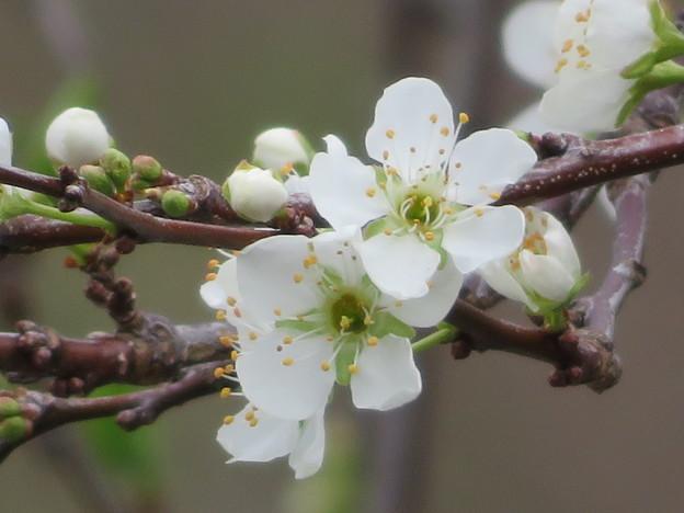 Photos: プラムの花