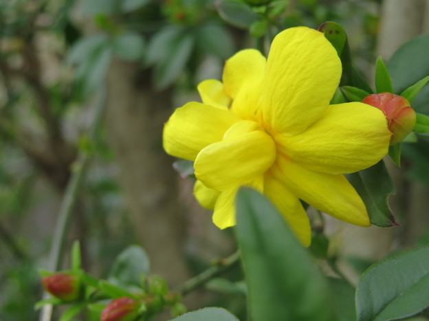 Photos: 雲南黄梅が綺麗な黄色で開花しました