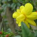 雲南黄梅が綺麗な黄色で開花しました