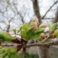 Photos: 今日の桜