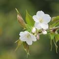 Photos: オオシマサクラの若木