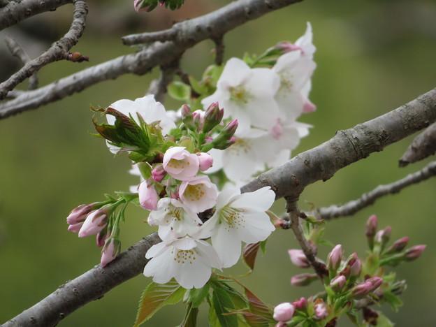 Photos: 今日の桜は2分咲き?