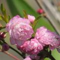 Photos: 庭さくら開花したわね