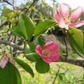 Photos: 花梨が咲いた