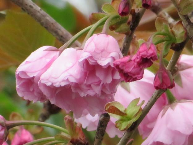 Photos: 八重桜関山のつぼみが膨らんできました