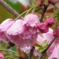 八重桜関山のつぼみが膨らんできました