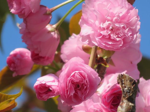八重桜 見ごろを迎えています