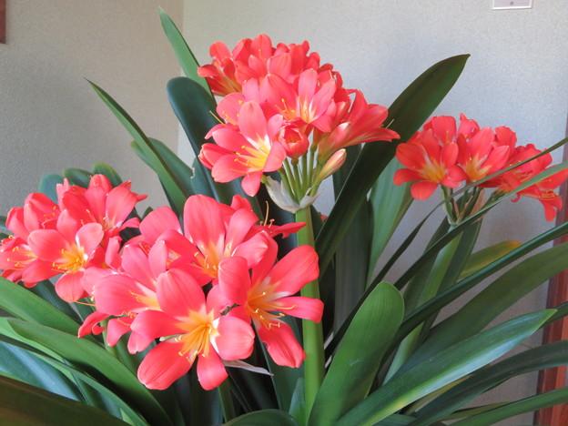 君子蘭8本の花芽です
