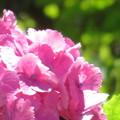 濃いピンク色の紫陽花
