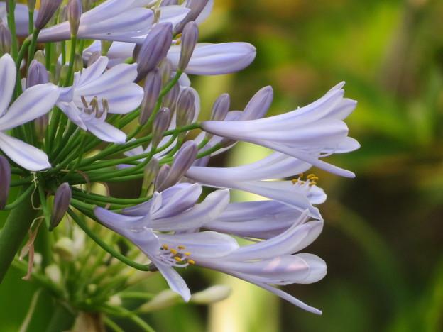 淡い水色アガパンサス開花
