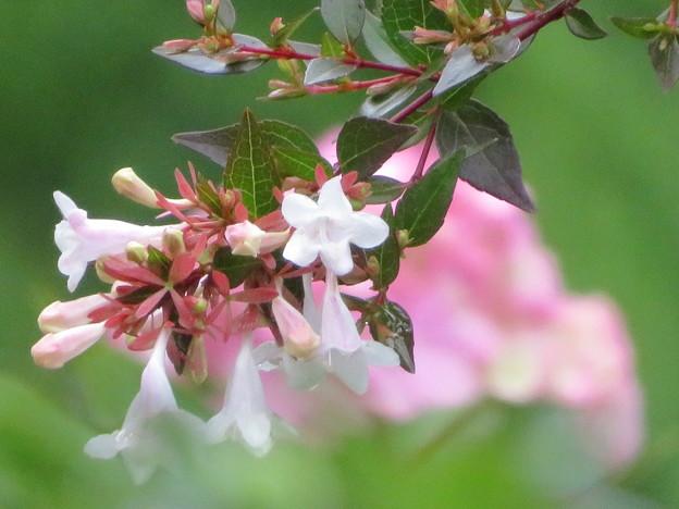 アベリアと紫陽花