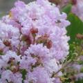 Photos: 薄紫色のフリフリがいっぱい