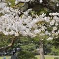 仙台榴岡公園 180410 (1) (1000x1500)