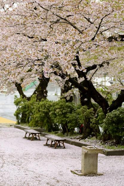 高松の池の桜まつり 180425 (1)