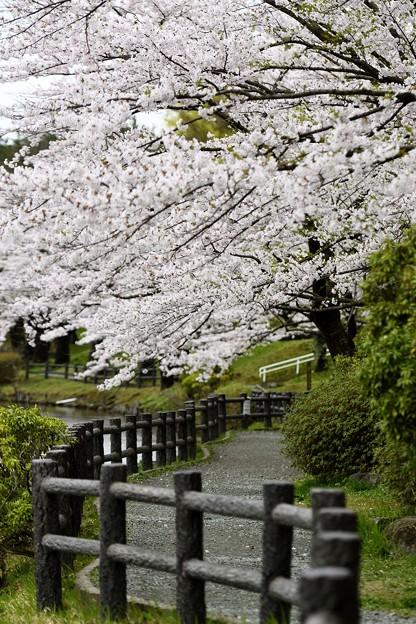 高松の池の桜まつり 180425 (5)