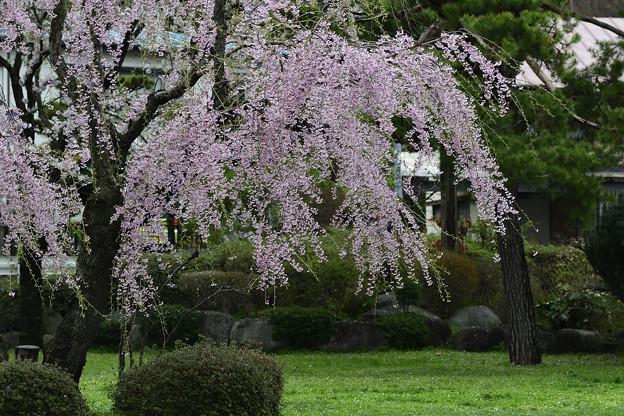 高松の池の桜まつり 180425 (8)