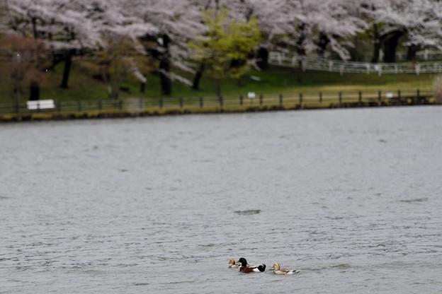 高松の池の桜まつり 180425 (9)