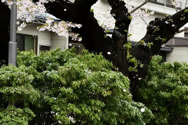 高松の池の桜まつり 180425 (13)