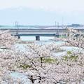 Photos: 北上展勝地の桜 180422 (5)