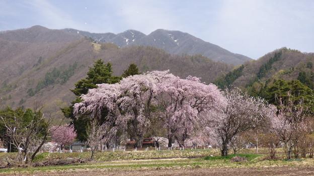 白津の桜 猪苗代