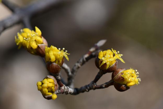Photos: 春黄金への一歩