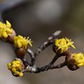 写真: 春黄金への一歩