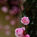 写真: 春をまつわ・・ここで